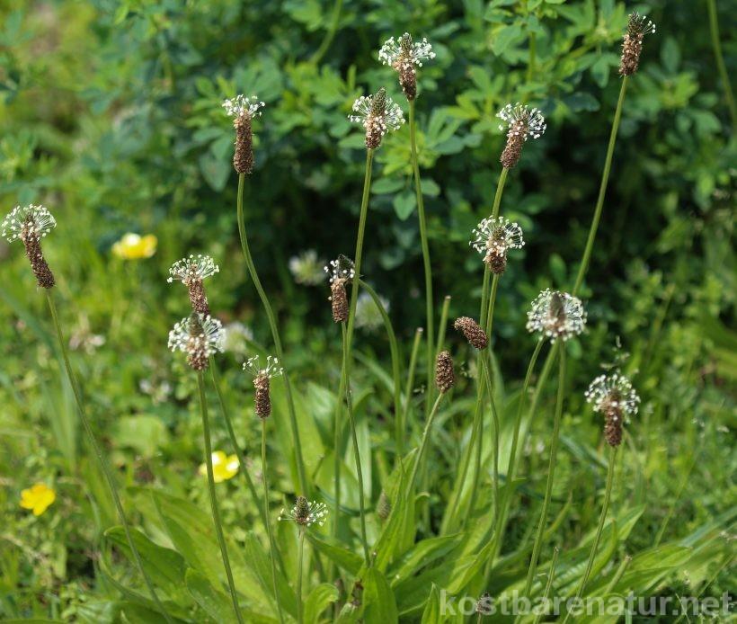 Der Spitzwegerich ist eine der am weitesten verbreiteten Wildpflanzen. Nutze seine Blätter, Blüten, Samen und Wurzeln als Nahrung und für die Gesundheit!