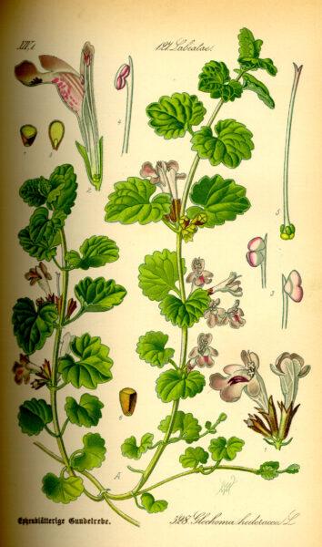 Als Würzkraut ist der Gundermann eine Bereicherung für jede Küche. Er hilft als Heilkraut bei eitrigen Wunden, Bronchitis, Harnerkrankungen und Schnupfen.