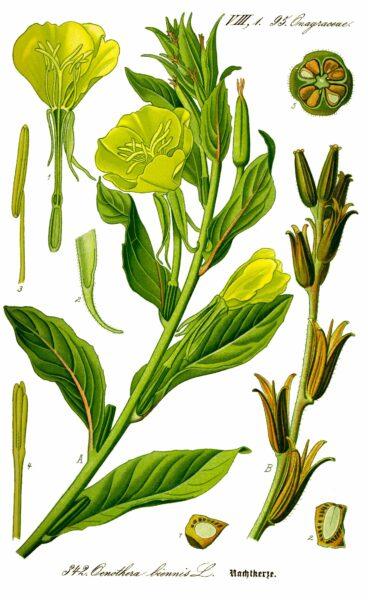 Die Nachtkerze ist nicht gemein, sondern einfach nur wunderschön. Wie du die Blüten, Samen und Wurzeln in der Küche nutzen kannst, erfährst du hier!