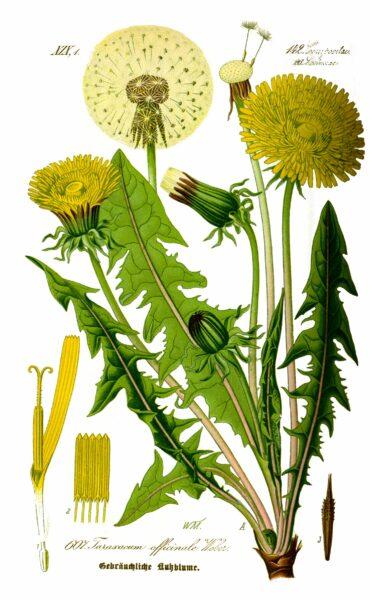 Gemeiner Löwenzahn (Taraxacum officinale)