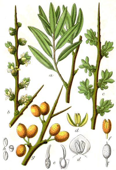 Sanddorn ist eine der gesündesten Pflanzen und seine Beeren gehören zu den besten Vitamin-C-Spendern. Erfahre, wie du ihn zur Ernährung und Heilung nutzt!