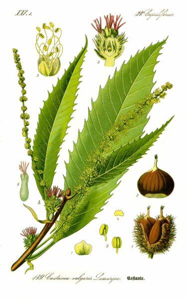 Finder heraus, wie du die Blätter der Edelkastanie als Heilmittel nutzen und ihre leckeren und gesunden Früchte vielfältig zubereiten kannst.