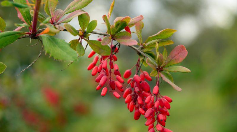 Die Berberitze ist reich an Vitamin C und ihre Beeren ergeben eine gesunden Saft und schmecken frisch, getrocknet oder auch als Brotaufstrich.