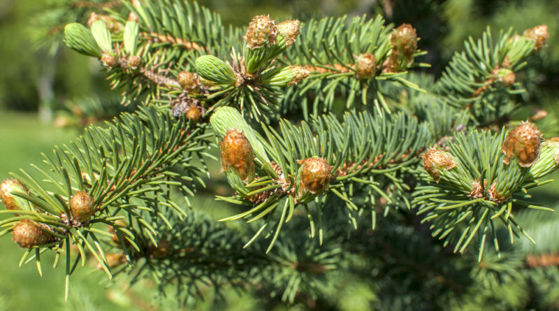 Nicht nur zu Weihnachten sollten wir der Tanne besondere Beachtung schenken. Gerade im Frühjahr sind ihre Triebe heilend nutzbar.
