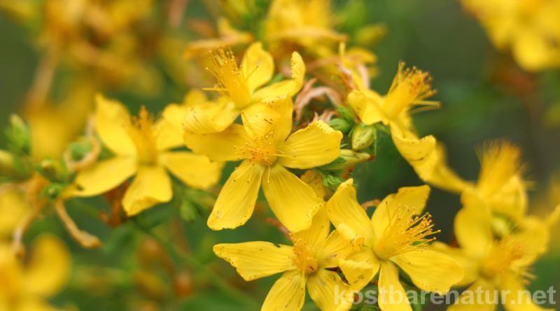 Das gelb blühende Johanniskraut ist einer der besten Speicher der Sonnenenergie. Sammle es im Sommer und nutze es im Winter, um die dunklen Tage aufzuhellen