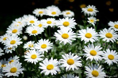 Früher waren Gänseblümchen heilig und standen für Unschuld und Reinheit. Auch heute sollten wir uns an ihrer Schönheit erfreuen und ihre Wirkstoffe nutzen.