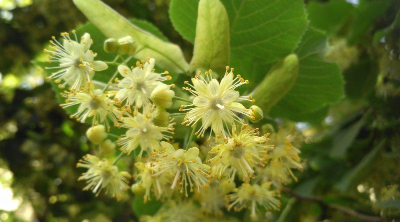 Die Winterlinde und die Sommerlinde gelten oft als Friedensbäume. Nutze sie zur Stärkung der Abwehrkräfte, gegen Erkältungen und mehr.