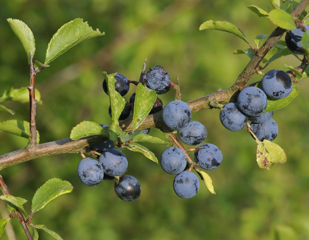 Die blau-schwarzen Beeren der Schlehe sind erst nach ein paar Frostnächten richtig genießbar. Dann sind sie süß, entzündungshemmend und gesundheitsfördernd