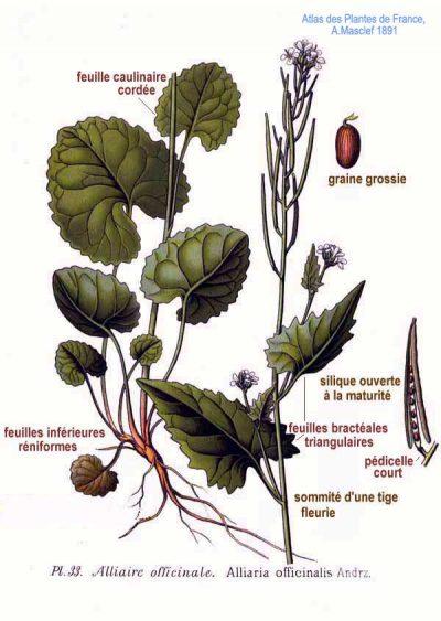 Knoblauchsrauke wird seit über 5000 Jahren genutzt. Auch heute ist es als würziges doch mildes Küchenkraut beliebt und kann zur Entgiftung verwendet werden.