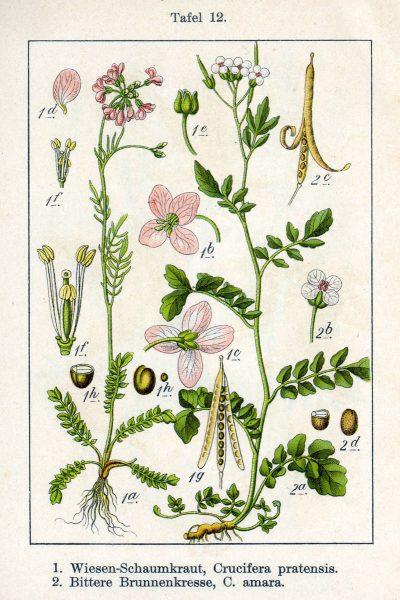 Wiesen-Schaumkraut - Die Hungerblume regt Leber und Galle an, wirkt gegen Frühjahrmüdigkeit und stärkt das Immunsystem