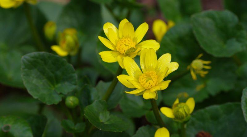 Das Scharbockskraut sprießt früh und sollte noch vor der Blüte gesammelt und genutzt werden. Genieße es aber bedacht und in Maßen!