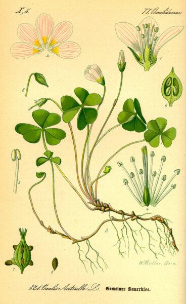 Der Waldsauerklee benötigt nur wenig Licht zum Wachsen und Blühen. Nutze ihn in Salaten, Smoothies, Suppen und reinigenden Heiltees.