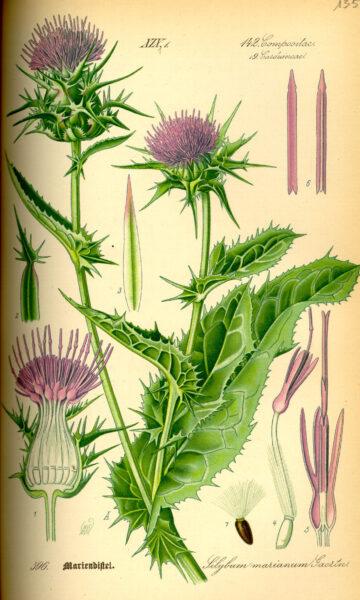 Ursprünglich aus südlicheren Breiten kommend, ist die Mariendistel auch immer öfter bei uns anzutreffen. So kannst du ihre Blätter, Wurzeln und Blüten nutzen.