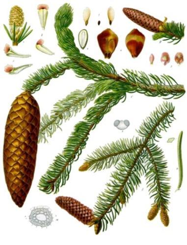 Im Mai sprießen an vielen Nadelbäumen hellgrün neue Triebe, die du für Hustensirup, Honig und viele andere Rezepte verwenden kannst. Auch für leckeres Eis!