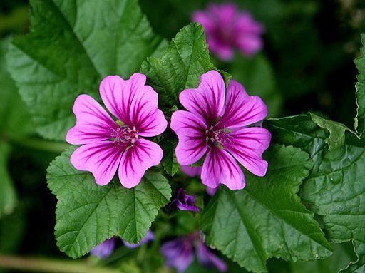 Piante Medicinale : Wilde malve kostbare natur