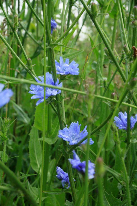 inulinhaltige pflanze