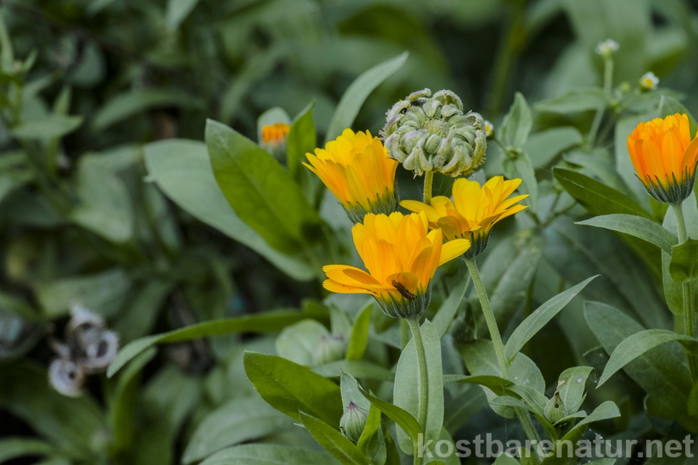 Lieblings Ringelblume - Kostbare Natur #CW_87