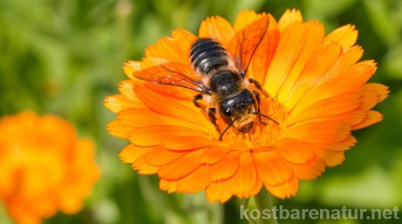 Die Ringelblume gilt als große Heilpflanze und wird besonders gern als Salbe angewandt. Du kannst sie aber auch in der Küche und im Garten nutzen!