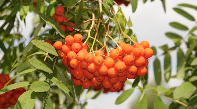 Größere Mengen der Eberesche solltest du besser nicht roh essen, dennoch ist es eine kostbare und sehr hilfreiche Pflanze. So kannst du sie nutzen!