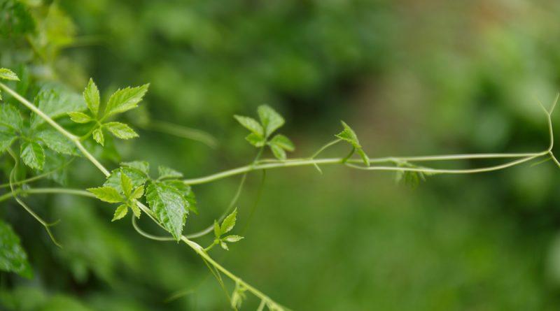 Das Kraut der Unsterblichkeit zählt zu einer der wichtigsten Heilpflanzen im fernen Osten. Du kannst ihn leicht anbauen und für die Gesundheit nutzen