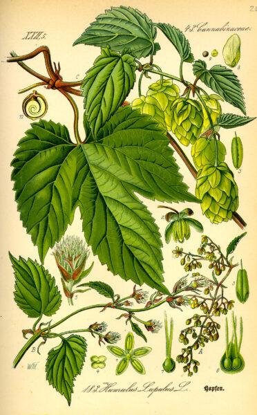 Die Dolden, Triebe und Rhizome des wilden Hopfens können vielfältig genutzt werden - z.B. bei Verdauungsproblemen, Nervosität und Menstruationsbeschwerden.