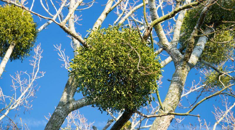 Die auf Bäumen wachsende Mistel ist nicht nur für Paare ein Glücksbringer. Sie stärkt Kreislauf, und Verdauung, reguliert den Blutdruck und einiges mehr.