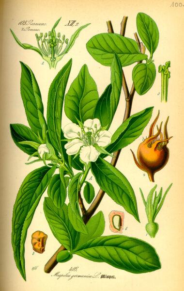 Früher war die Mispel sehr beliebt, wurde im Laufe der Zeit aber von Birnen und Äpfeln verdrängt. Finde heraus, warum du die gesunde Frucht nutzen solltest!
