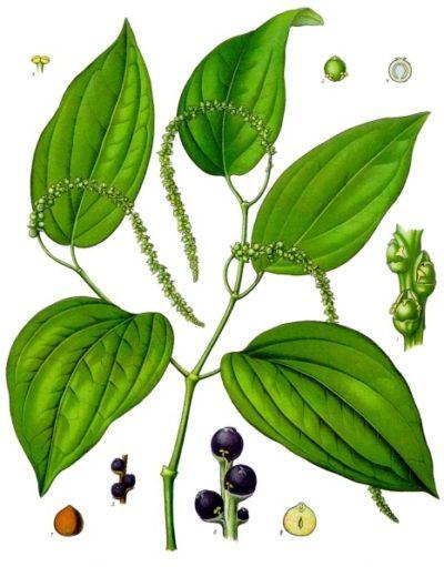 Egal ob grün, schwarz, weiß oder rot: Pfeffer ist eines der beliebtesten Gewürze in der Küche. Durch seine Schärfe regt er die Ausschüttung von Verdauungssekreten an, wird aber in Europa kaum noch als Heilpflanze verwendet.