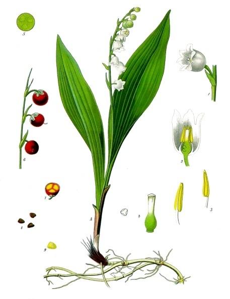 Maiglöckchen - Convallaria majalis - und Bärlauch unterscheiden