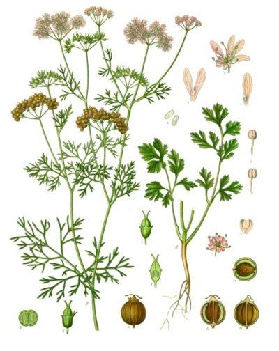 In Südamerika, Asien und Afrika nutzt man Korianderblätter zum Würzen. In Mitteleuropa werden die Samen verwendet und für ihre blähungslindernde Wirkung geschätzt.