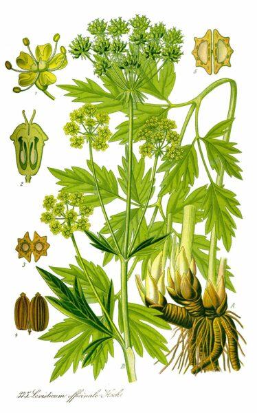 """Liebstöckel ist bekannt als """"Maggikraut"""", du kannst mit ihm aber nicht nur würzen, es soll sich auch positiv auf Verdauung und Harnwege auswirken."""