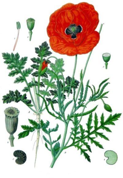Der Klatschmohn ist mit seinen purpurroten Blüten nicht nur ein echter Hingucker, er wirkt sehr heilsam bei Nervosität, Schlafstörungen und Hautproblemen.