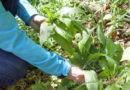 Verwechslungsgefahr: Bärlauch von Maiglöckchen, Herbstzeitlose und anderen Pflanzen unterscheiden