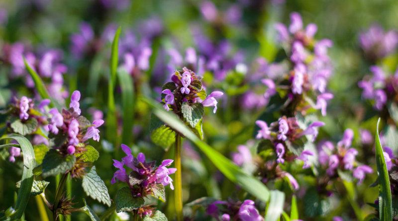 Wildkräuter-Neulingen fällt es oft schwer, ähnlich aussehende Pflanzen sicher zu bestimmen. So unterscheidest du die beiden geliebten Lippenblütler.