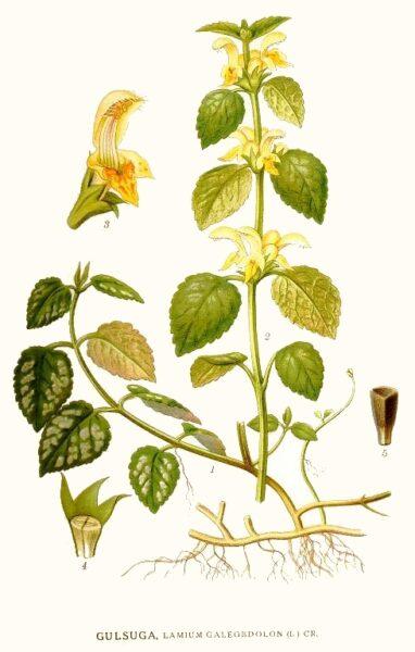 Goldnessel ist unglaublich vielseitig einsetzbar - Vom leckeren Spinatersatz in der Küche bis zum entzündungshemmenden Heilmittel bei Bronchitis.