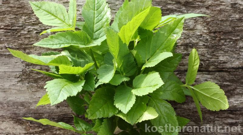 Ärgerst du dich über Giersch ím Garten? Dann lerne seine positiven Seiten kennen und nutze ihn einfach in der Küche!