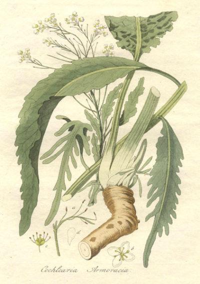 Nutze würzigen Meerrettich nicht nur in der Küche, sondern auch als vielseitige Heilpflanze bei Beschwerden wie Husten, Erkältungen und vielem mehr.