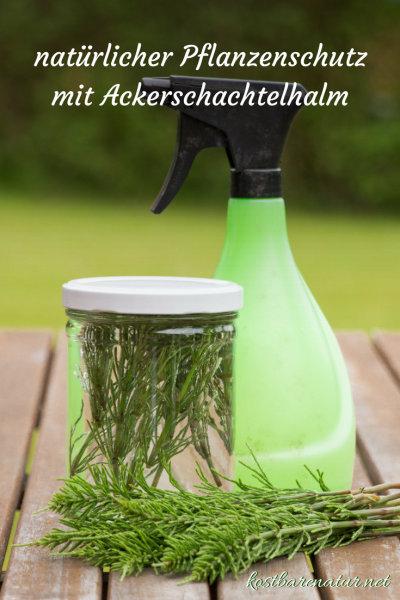 Schütze deine Pflanzen gegen Milben, Pilze und Blattläuse mit diesem selbstgemachten Kaltauszug mit Acker-Schachtelhalm.