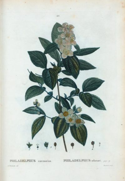 Der Europäische Pfeifenstrauch hat wunderschöne Blüten, die zudem sehr angenehm duften! Verwende sie zum Aromatisieren deines Haustees.