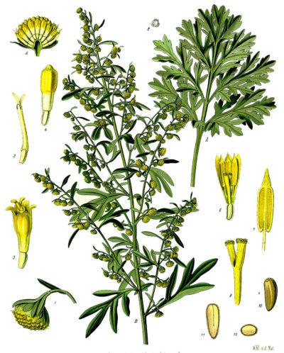 Wermut ist besonders als Bestandteil von Absinth berühmt. Du kannst diese starke Heilfplanze aber auch ohne Alkohol nutzen.