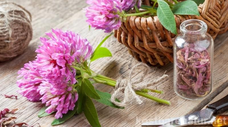 Die schönen Blüten des roten Wiesenklees helfen bei Wechseljahresbeschwerden, Menstruationsproblemen und vielem mehr.