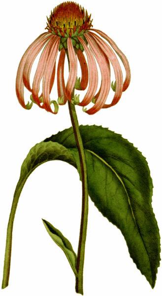 Der rote Sonnenhut ist als Zierpflanze weit verbreitet. Du kannst die starke Heilpflanze aber auch zur Stärkung des Immunsystems verwenden.