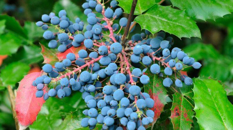 Wusstest du, dass du die Mahonie essen kannst? Ihre vitamin-c-haltigen Beeren eignen sich z.B. für süß-saure Gelees, Suppen, Säfte und Liköre.