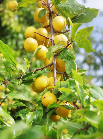 Süß und ertragreich: Nutze die Früchte der Mirabelle für Kuchen, Marmelade und Gelees!
