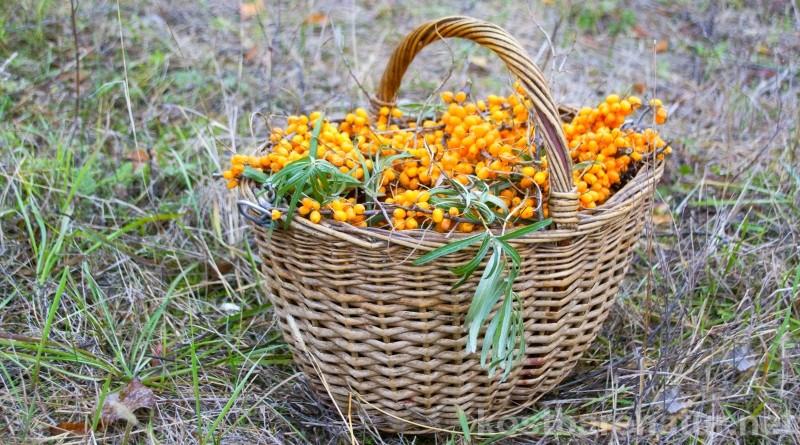Sanddornbeeren enthalten unglaublich viel Vitamin C. Mit diesen Methoden gelangst du schnell und schmerzfrei an die Beeren.
