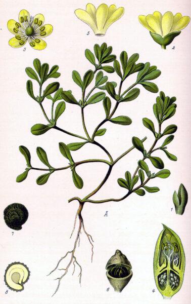 Nährstoffreicher als Kopfsalat: Nutze Portulak als würziges, Gemüse, Salat, Gewürz oder Heilkraut!