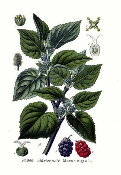 Maulbeerbäume wurden früher vielerorts angepflanzt, um Seidenspinnen zu züchten. Heute bereichern die Früchte unsere Ernährung als regionale Superfoods.