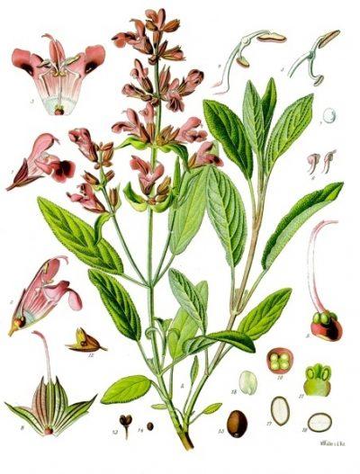 Echter Salbei wurde schon vor Jahrtausenden als vielseitige Heil- und Gewürzpflanze geschätzt. Auch heute ist sie ein probates Hausmittel, das jedoch mehr kann, als Halsschmerzen zu lindern.