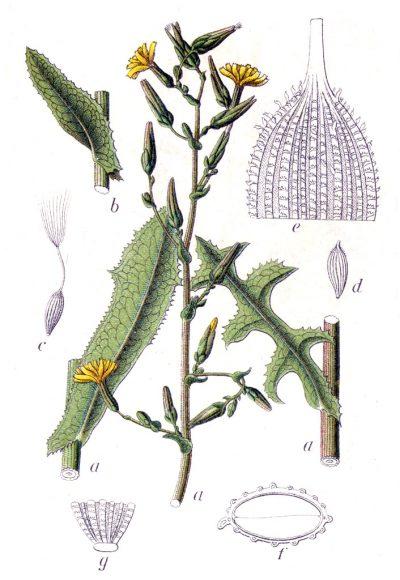 Stachellattich, die Stammpflanze der Gartensalate enthält gesunde Bitterstoffe und eignet sich als Salatbeigabe oder gekochtes Gemüse.