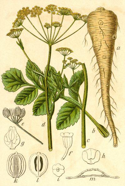 Die Pastinake ist ein altes Wintergemüse mit süßlich nussigem Geschmack und heilenden Inhaltsstoffen.